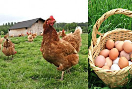 Gezen Tavuk ve yumurta
